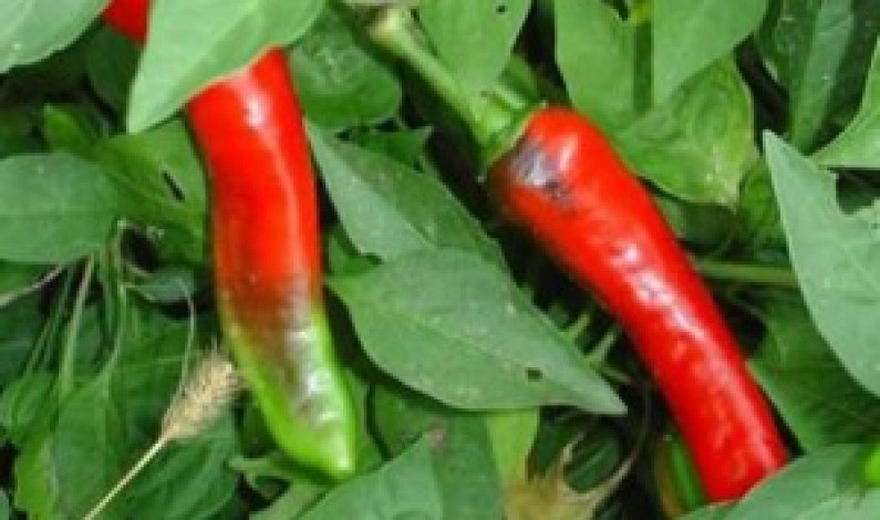 Chili Peppers Trade: Global Warming